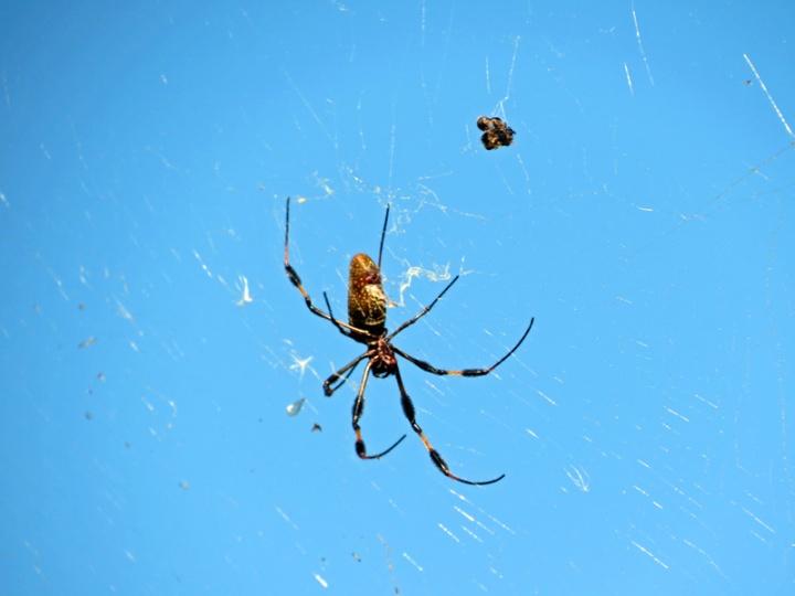 !!!!golden-orb-weaver-with-prey