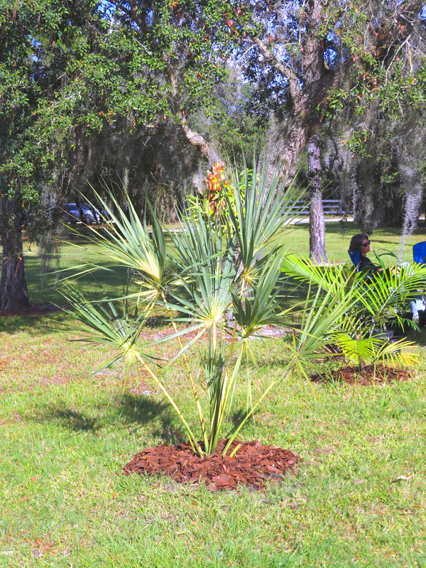 !!!!sabal-palm-variegated