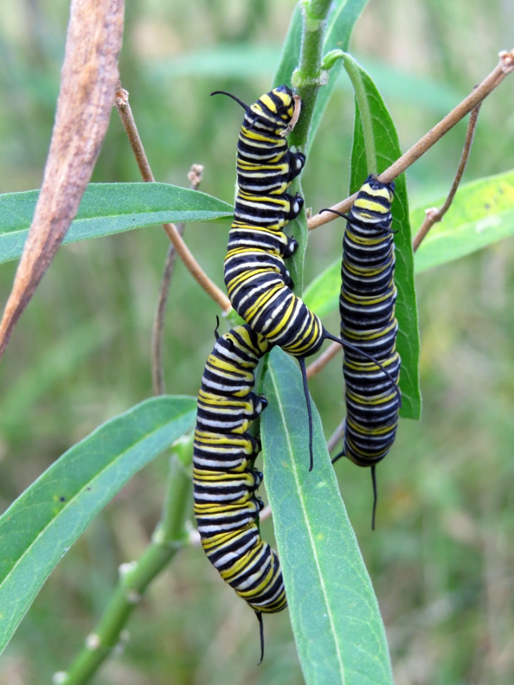 !!!!3-monarch-larvae