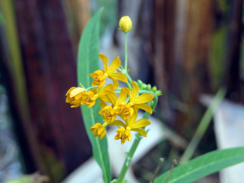 !!!!asclpeias-curassavica-flower-front-view-yellow