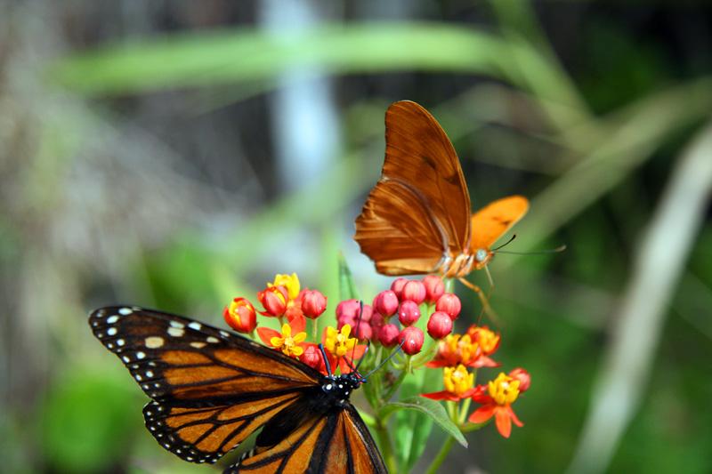 !!!!monarch-&-male-julia-on-milkweed