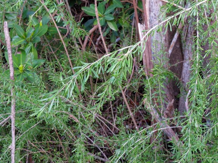 !!!!-2016-orca-lycium-carolinanum-foliage