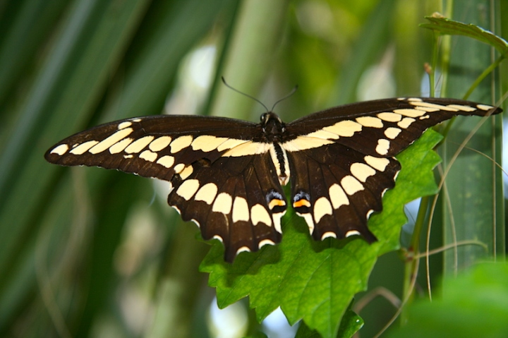 !!!!giant swallowtail 3-25-2009 copy