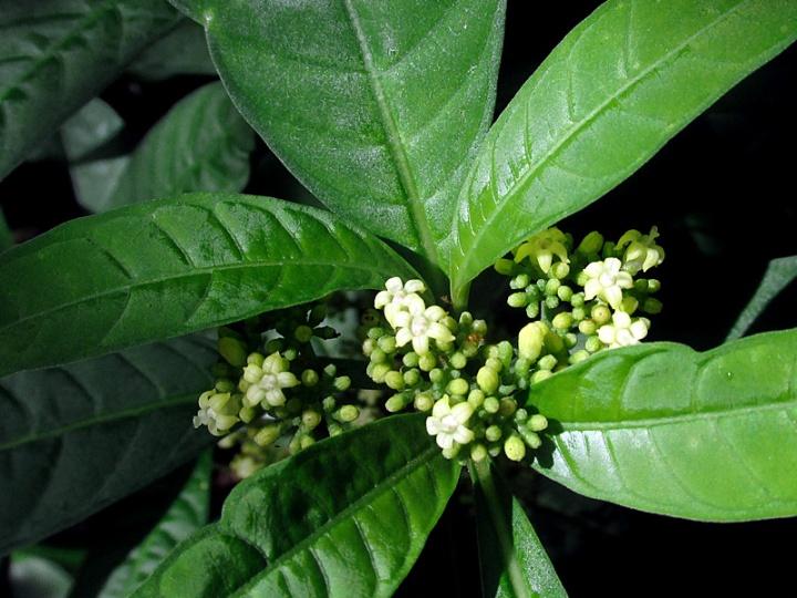 !psychotria-sulzneri-flowers-closeup