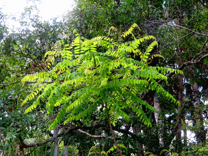 !!!!amorpha-fruticosa---round-foliage