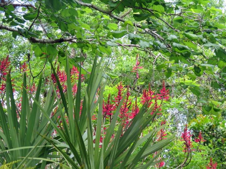 !!!!morus-rubra---erythrina-herbacea---serenoa-repens