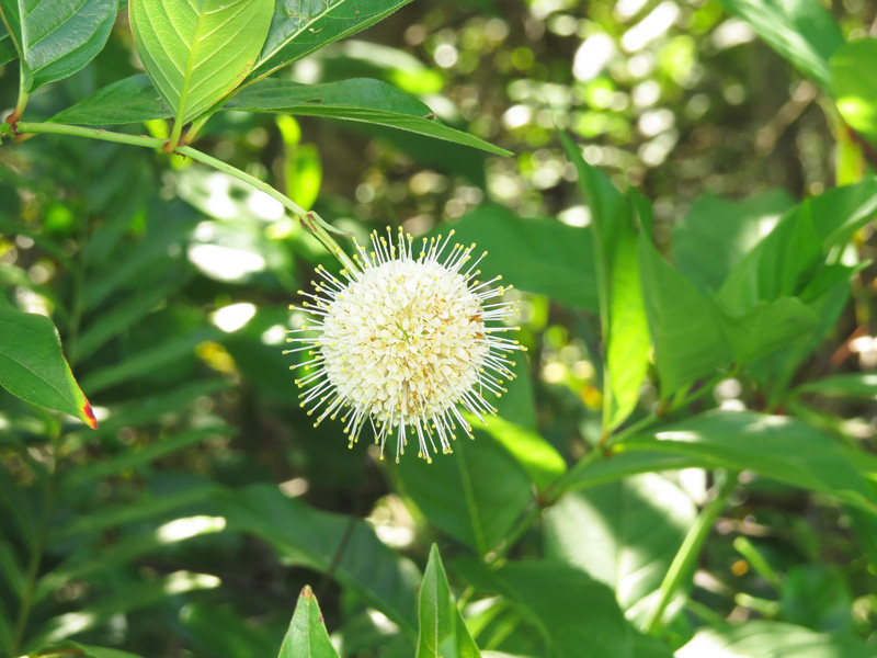 !!!!cephalanthus-occidentalis1