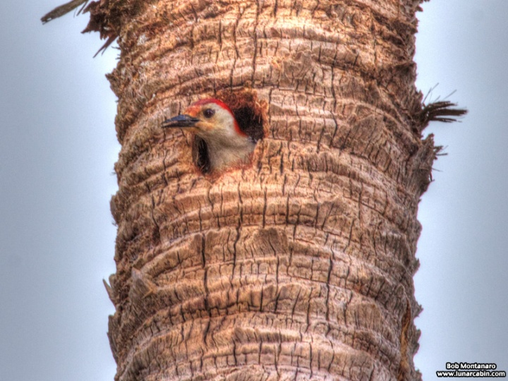 redbellied_woodpecker_160519_1