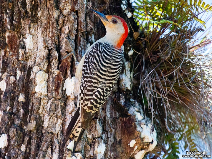 redbellied_woodpecker_160519_10