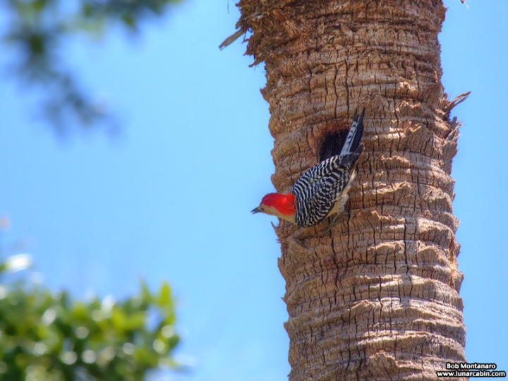 redbellied_woodpecker_160519_4