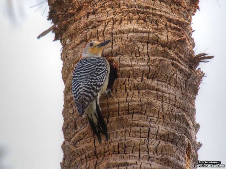redbellied_woodpecker_160519_6