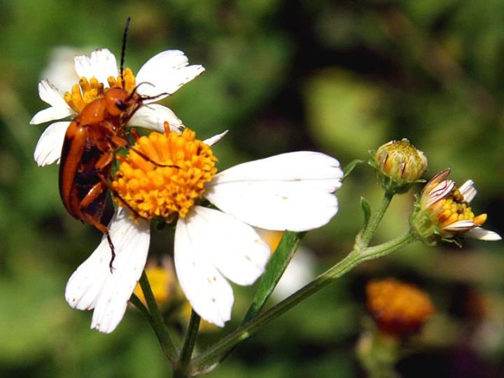 !!!!beetle-on-bidens-alba