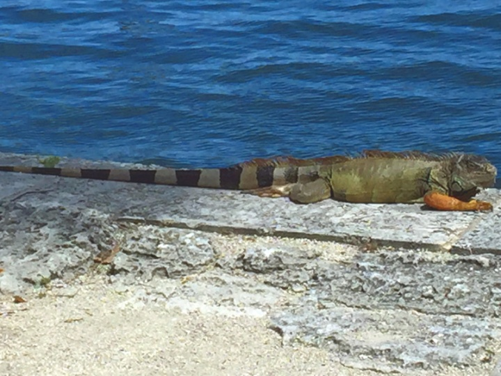 !!!!iguana-at-vizcaya1