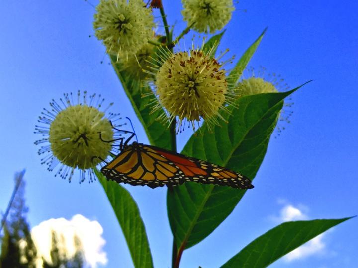 !!!!monarch-on-cephalanthus