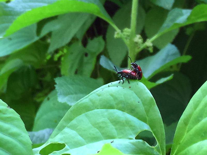 !!!!air-potato-beetles-copulating
