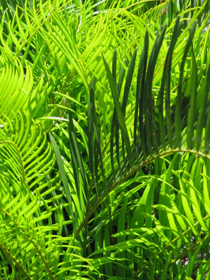 !!!!zamia-flrodiana-new-&-old-foliage
