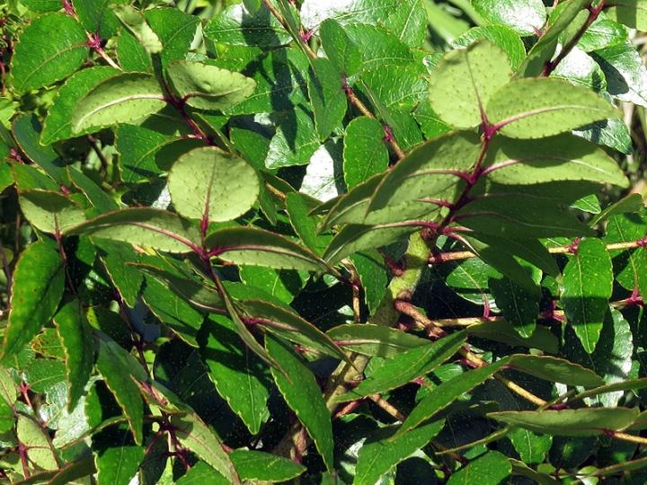 !!!!zanthoxylum-clava-herculis-leaves