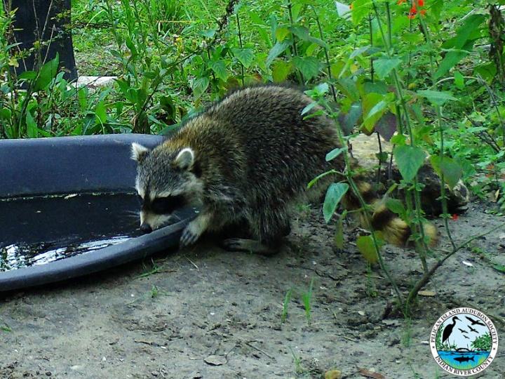 raccoons_031517_1