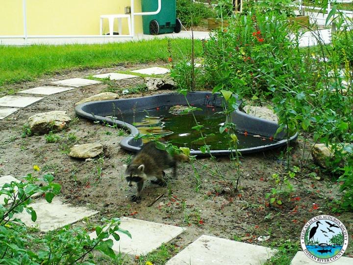 raccoons_031517_10