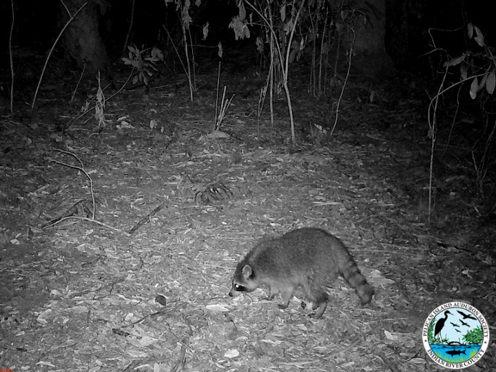 raccoons_031517_2