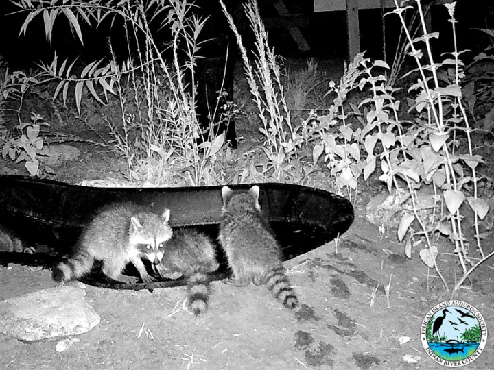 raccoons_031517_6