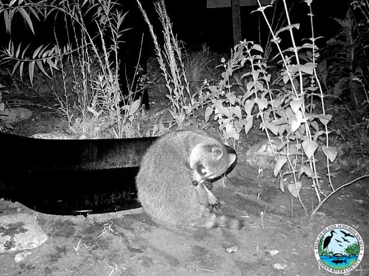 raccoons_031517_7