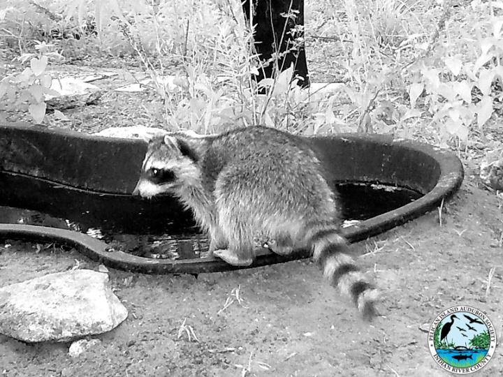 raccoons_031517_9